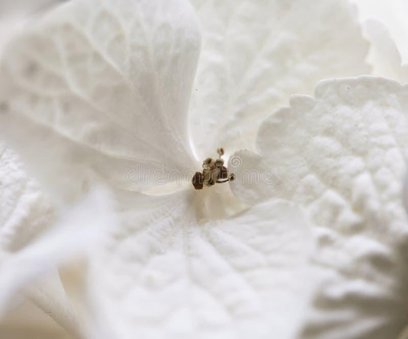 白色makro八仙花属,花的特写镜头 免版税图库摄影