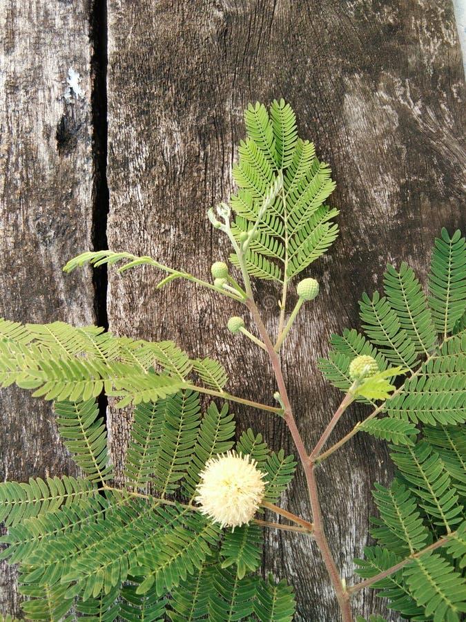 白色popinac、银合欢属,树枝状铅,马罗望子树叶子和花 免版税库存图片