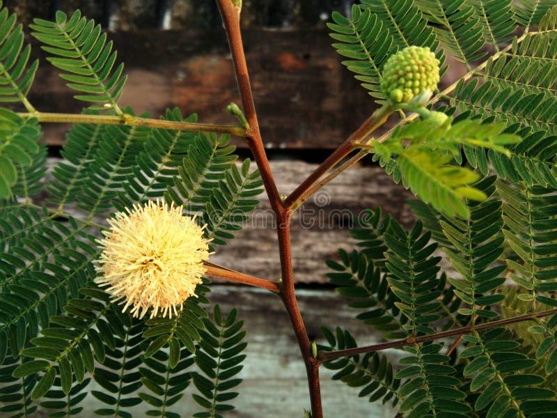 白色popinac、银合欢属,树枝状铅,马罗望子树开花花花和叶子 免版税库存图片