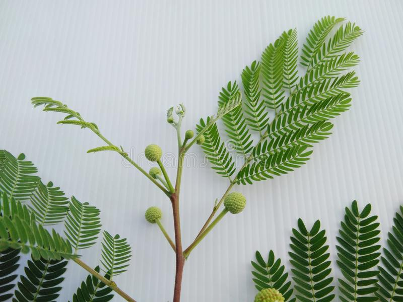白色popinac,银合欢属,树枝状铅,马罗望子树投入了事假芽,开花花 免版税库存图片