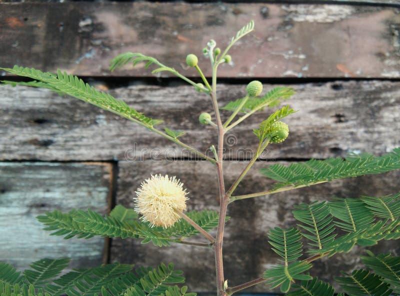 白色popinac,银合欢属,树枝状铅,马罗望子树投入了事假芽,开花花 库存图片
