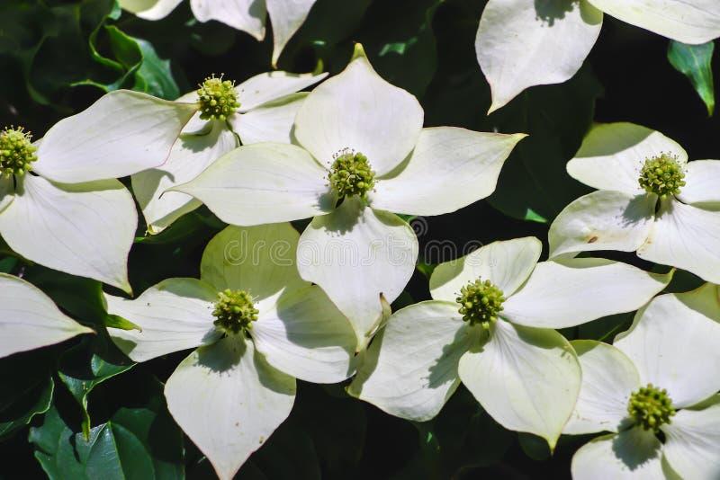 白色pseudoflowers和中国山茱萸的绿色花,亚洲山茱萸,萸肉kousa 免版税库存图片
