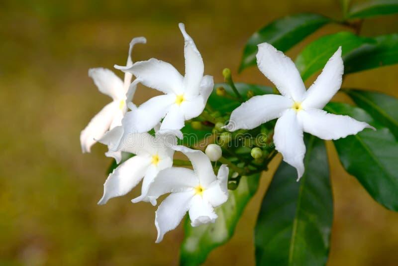 白色Sampaguita茉莉花或阿拉伯茉莉花;热带白色流程 库存照片