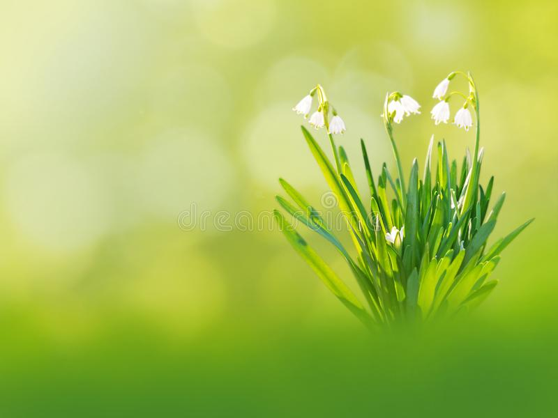 白色snowdrop开花春天背景 免版税图库摄影