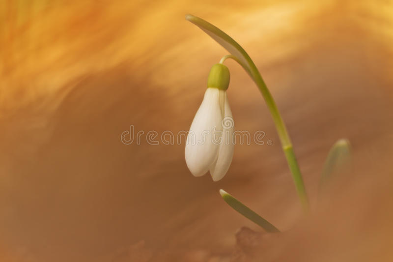 白色snowdrop花在春天有抽象五颜六色的bokeh背景 春天花不可思议的看法  免版税图库摄影