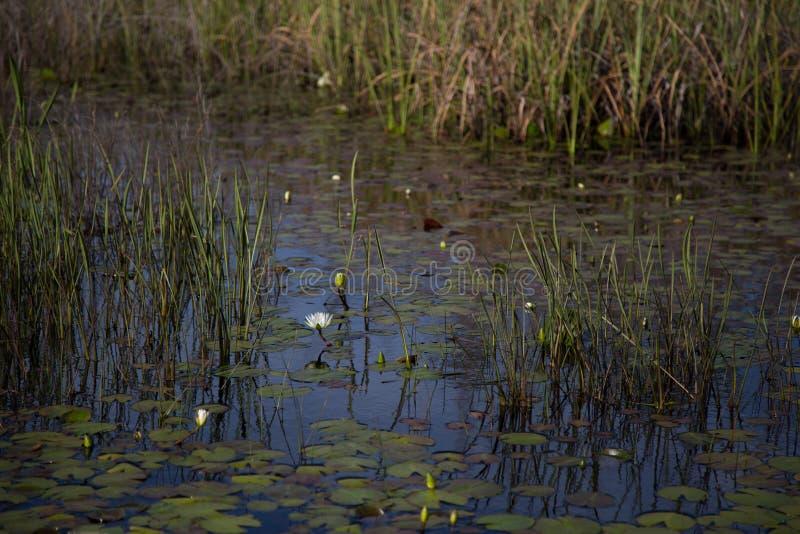 白色waterlily在与睡莲叶和芦苇的黑暗的水中,与中央景深和背景迷离 库存图片