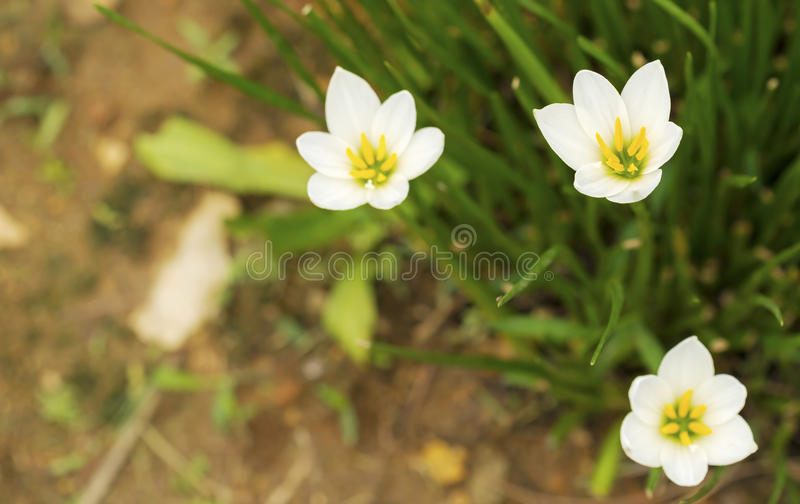 白色Zephyranthes 库存图片