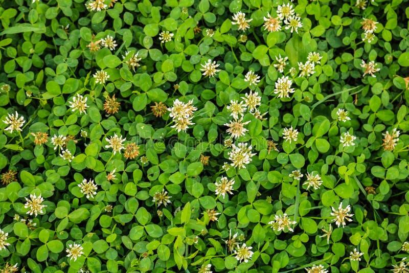 白花三叶草 开花的三叶草花背景在一个绿色领域的 野生开花的三叶草在地面增长 免版税库存图片