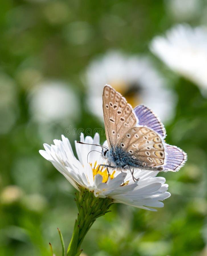 白花上的普通蓝蝴蝶 图库摄影