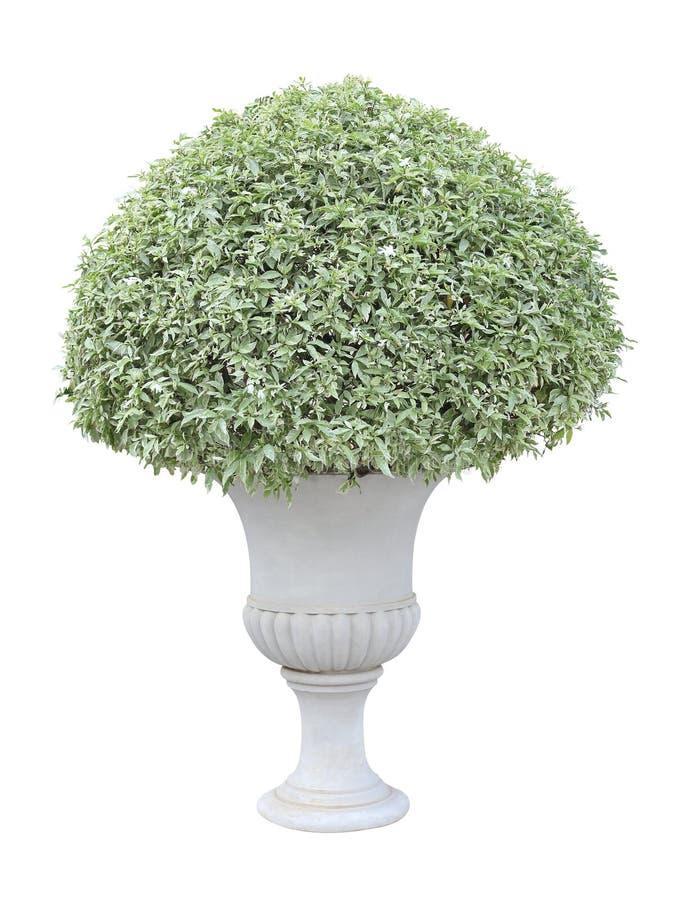 白花修剪的花园与杂色的叶子植物的在正式欧洲人的白色背景隔绝的白色缸罐容器的 库存图片