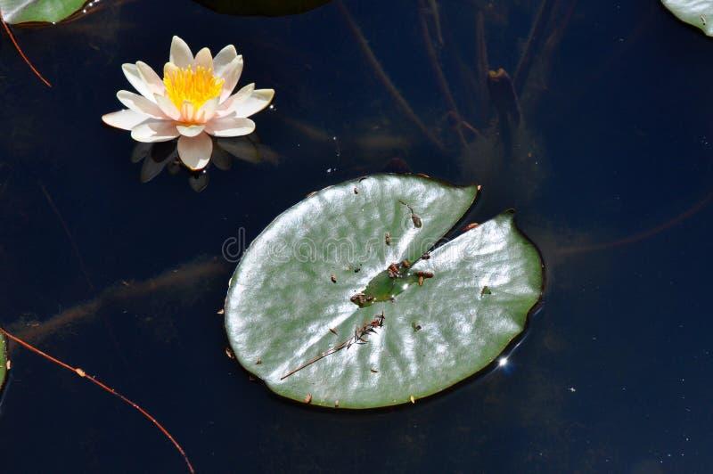 白花和亲吻水的睡莲叶 免版税库存照片