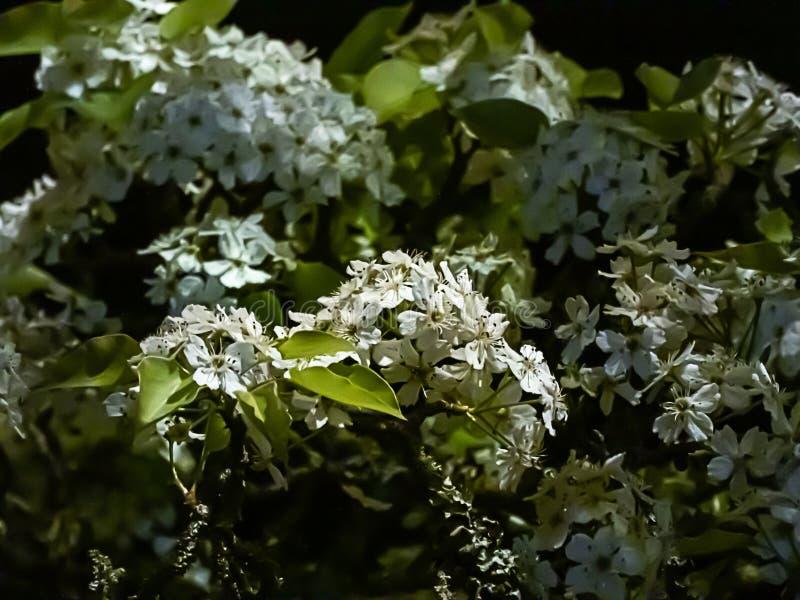 白花和绿色叶子在树在开花在晚上的春天在黑暗 库存照片