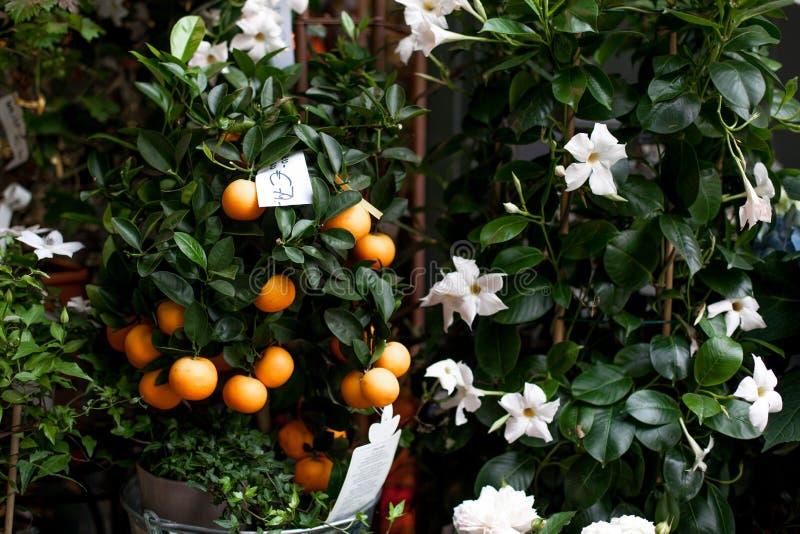 白花和蜜桔在罐在街市上在欧洲,维也纳 蓝色和白色八仙花属,风铃草 美丽多重 库存图片