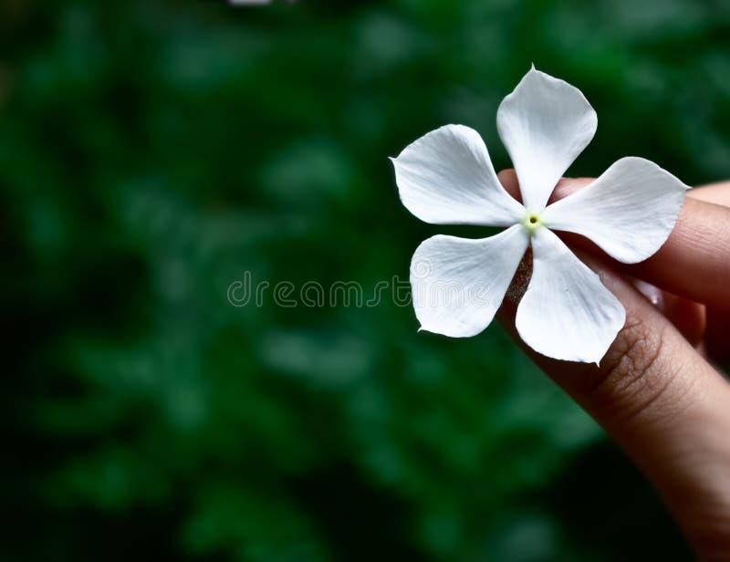 白花在一个女孩的手上有绿色背景 免版税库存照片