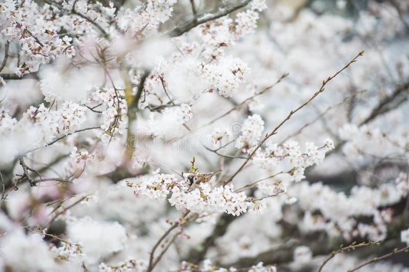 白花在日本 免版税图库摄影