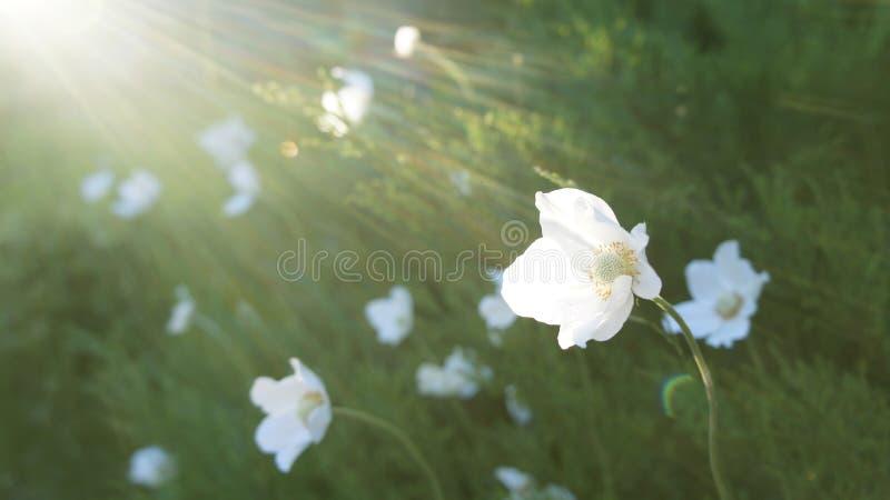 白花在阳光下在一块绿色沼地 免版税库存照片