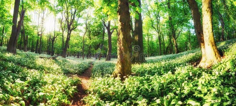 白花小路森林绿景全景 免版税库存照片