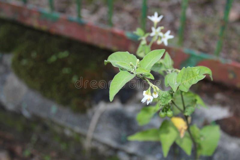 白花植物的画象图象 库存照片