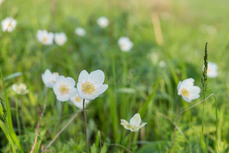 白花毛茛属拉特 银莲花属在一个绿色草甸的早期的春天开花 免版税库存图片