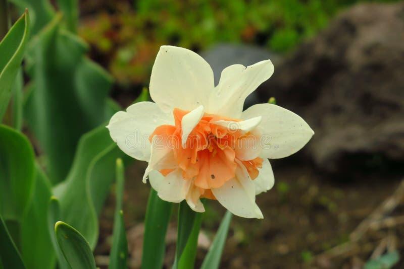 白花水仙照片  背景与黄色芽和绿色叶子的黄水仙水仙 E 库存图片