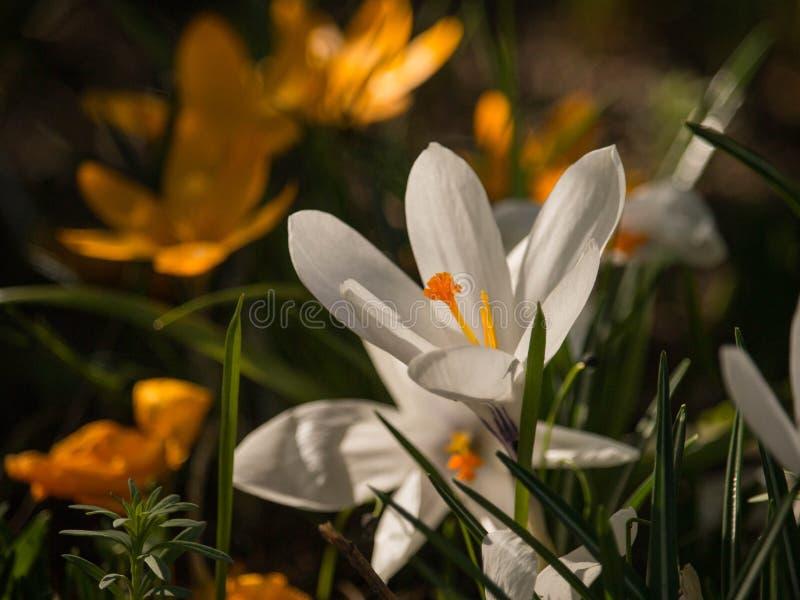 白花番红花在绿草的一个春日 免版税库存图片