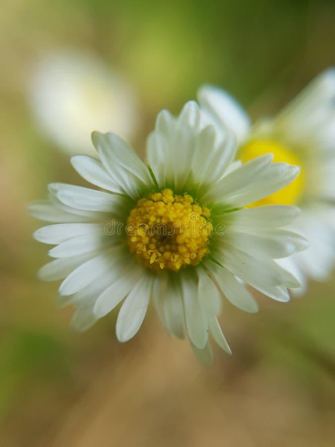 白花的关闭 库存图片