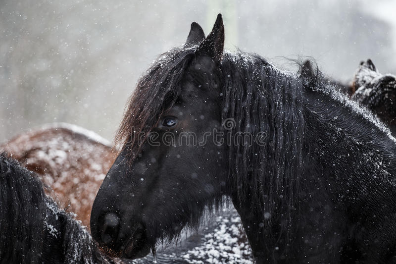 黑白花的马和降雪 免版税库存图片