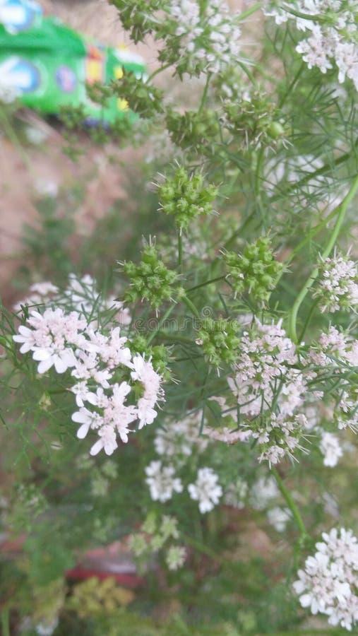 白花绿色种子 库存照片
