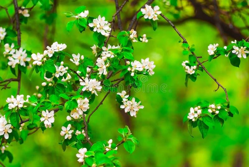 白花苹果树 免版税库存照片