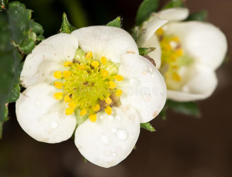 白花草莓本质上 特写镜头 免版税图库摄影