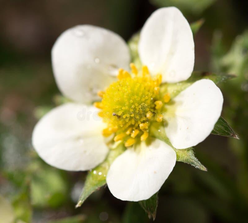 白花草莓本质上 特写镜头 库存照片