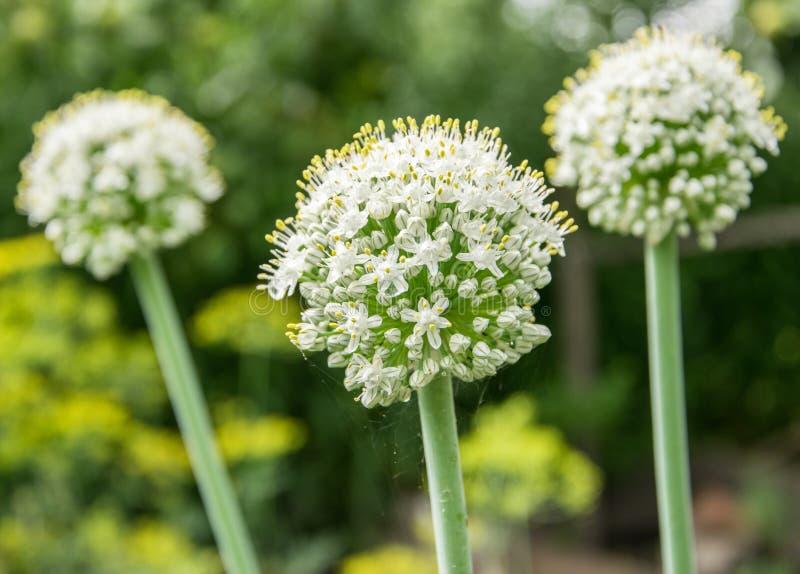 白花葱生长在庭院的batun特写镜头 库存图片