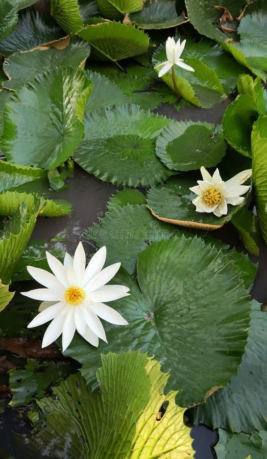 白莲教荷花花在池塘 库存照片