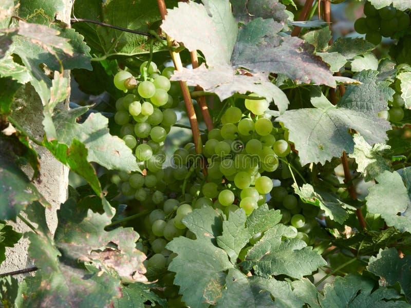 白葡萄在葡萄园里 免版税库存照片