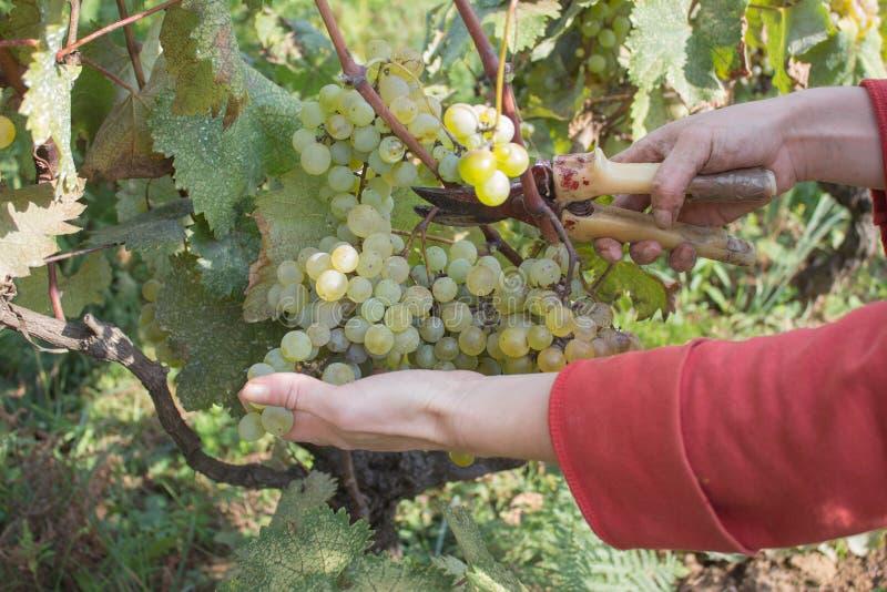 白葡萄酒葡萄分支生长在英王乔治一世至三世时期领域的 关闭新鲜的红葡萄酒葡萄看法在乔治亚 与大的葡萄园视图 免版税图库摄影