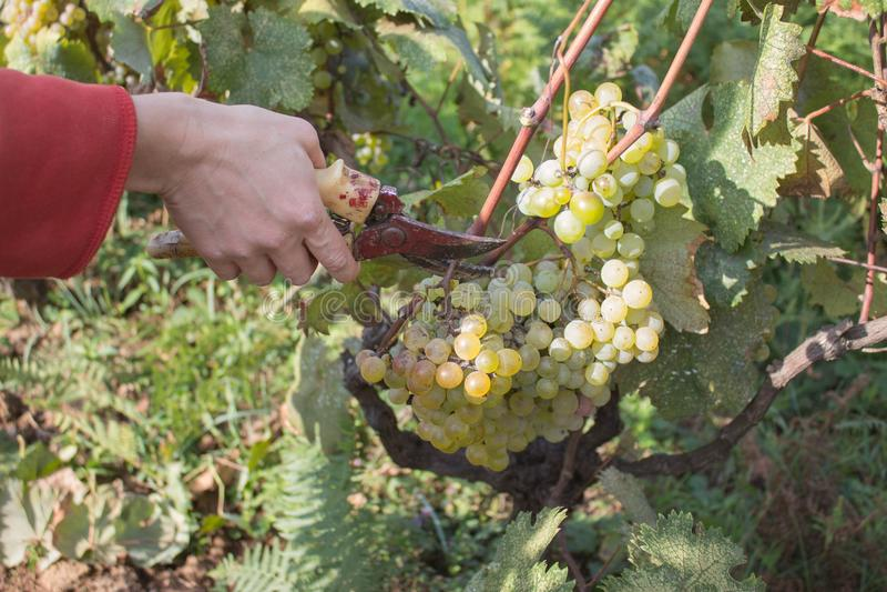 白葡萄酒葡萄分支生长在英王乔治一世至三世时期领域的 关闭新鲜的红葡萄酒葡萄看法在乔治亚 与大的葡萄园视图 库存照片