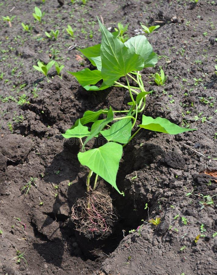 白薯:种植,生长和收获白薯 免版税库存照片