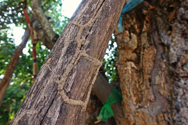 白蚁在木头的世袭的社会等级路 库存图片