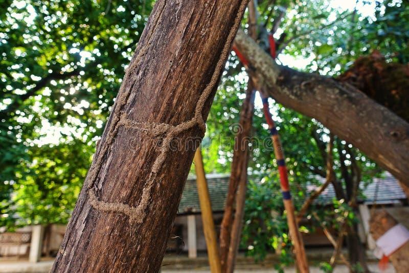 白蚁在木头的世袭的社会等级路 免版税库存图片