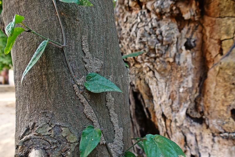 白蚁在生存树干的世袭的社会等级路 免版税库存图片