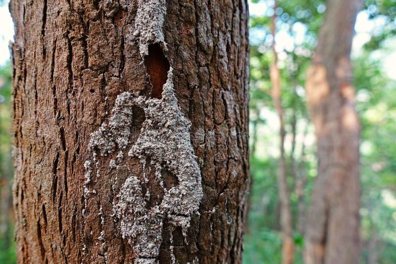 白蚁在生存树干,热带森林泰国的世袭的社会等级路 库存照片