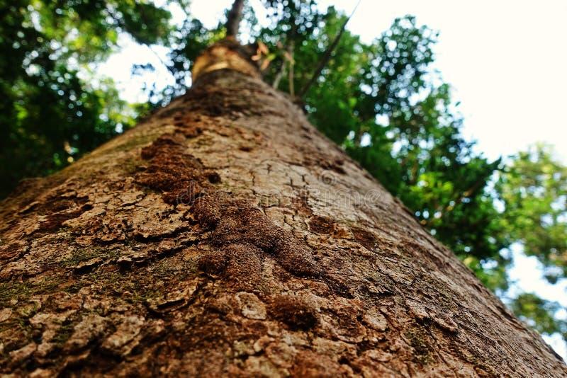 白蚁在生存树干,热带森林泰国的世袭的社会等级路 库存图片