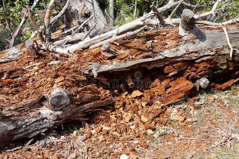 白蚁完全地毁坏的树干 免版税库存图片
