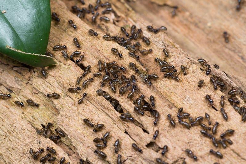 白蚁的Hospitalitermes种类殖民地在一本腐烂的木日志的 棕色颜色白蚁 库存图片