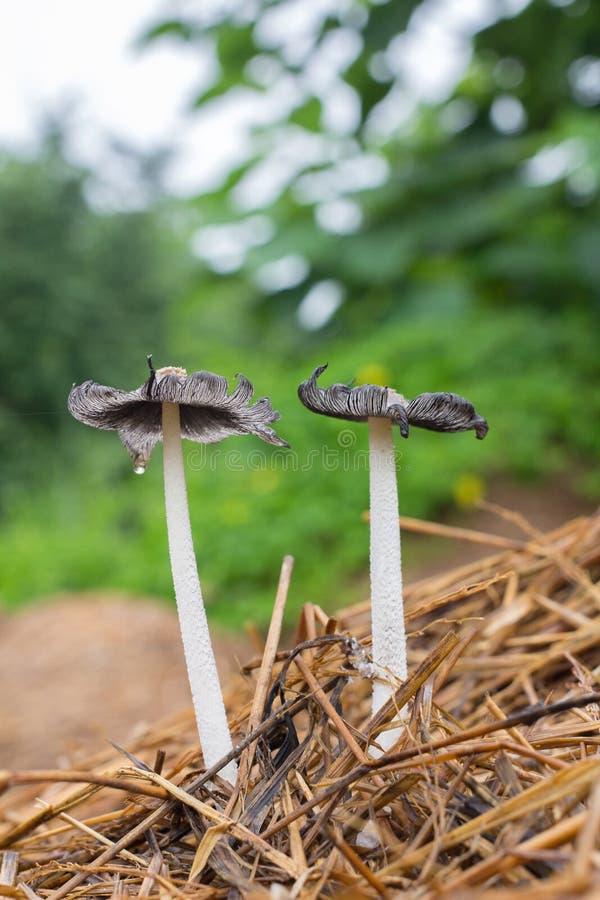 白蚁蘑菇 库存图片