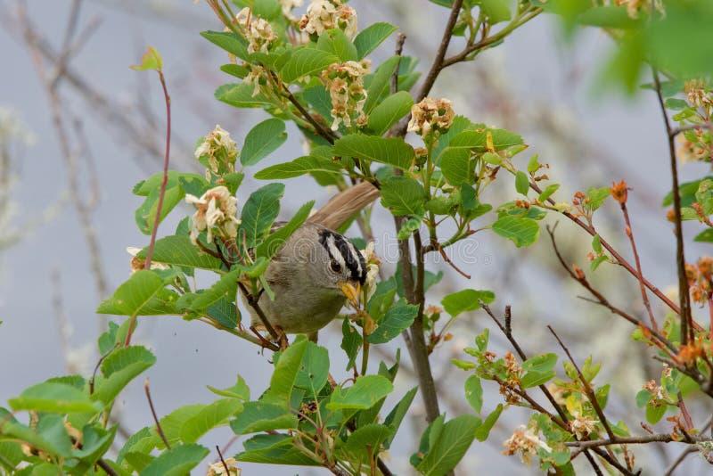 白被加冠的麻雀为在开花的灌木的食物搜寻 图库摄影