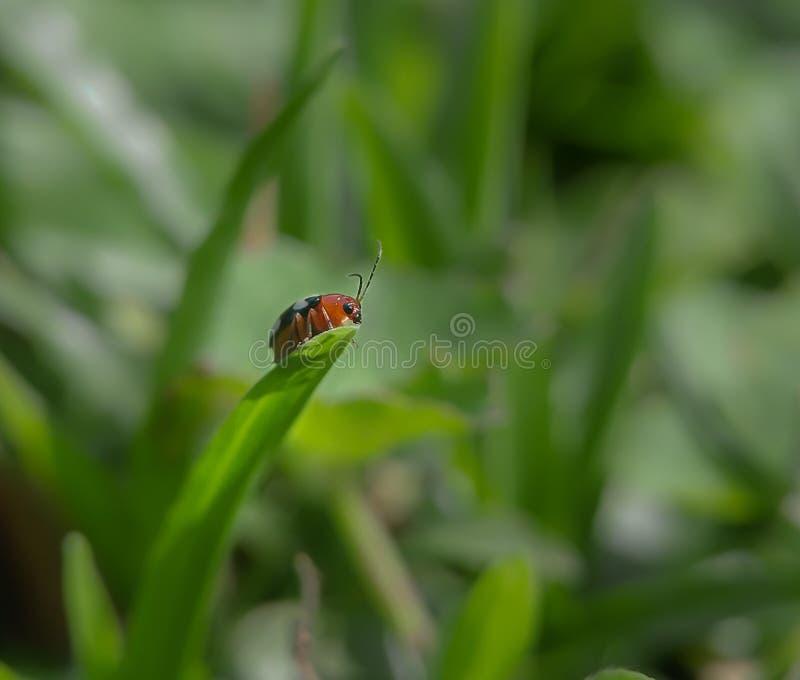 白被察觉的叶子甲虫 免版税库存图片