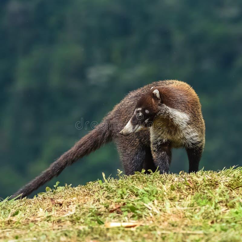 白被引导的浣熊 免版税库存图片