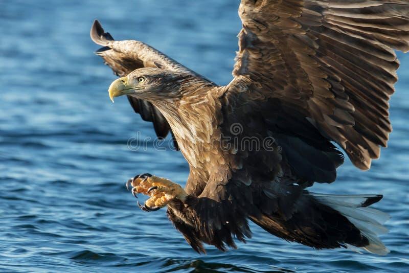 白被盯梢的海鹰在飞行中与强有力的爪catchin 图库摄影