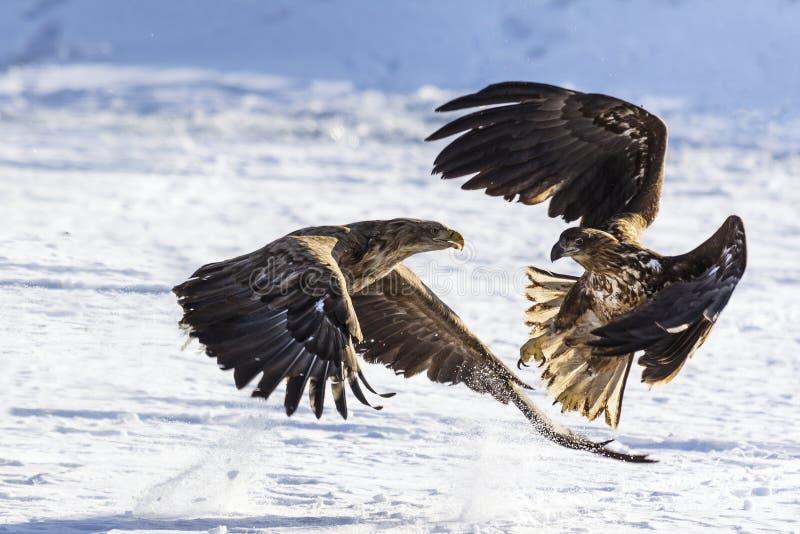 白被盯梢的海鹰白盯梢了战斗的海老鹰乐队 免版税库存图片